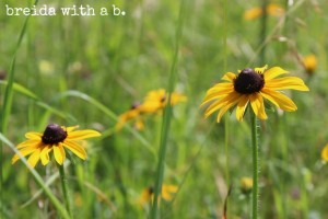 brown eyed susan. . .